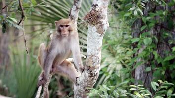 United States of Animals: Florida Monkey Business