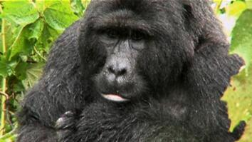 Gorillas Find Refuge in Uganda