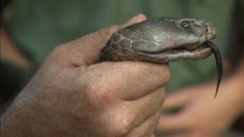 Largest Spitting Cobra Found