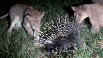 Porcupine vs. Lion