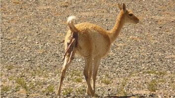 Race to Witness Vicuña Birth