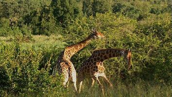 Giraffe Slugfest