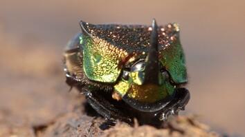 Meet a Beautiful Beetle That Loves to Eat Poop