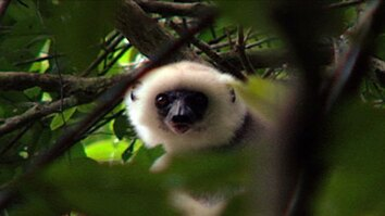 Searching for Sifakas
