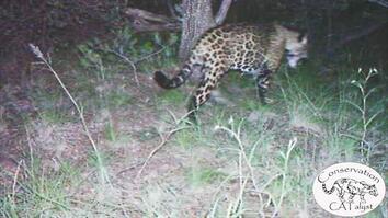 Wild Jaguar Spotted on Camera in Arizona