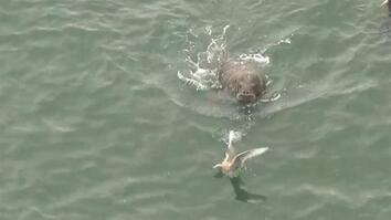 Play or Prey? Watch Walruses Interact With Seabirds