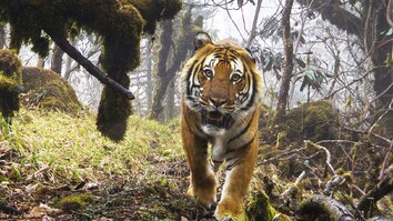 Watch: Extremely Rare Footage of Wild Tigers in Bhutan