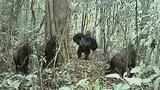 Rare Gorillas Caught on Camera