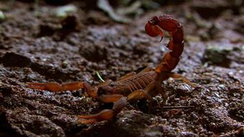 World's Deadliest Scorpion?