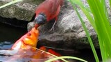 Why Is This Bird Feeding Goldfish?