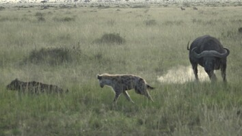 Watch: Buffalo Herd Charges Hyenas to Defend Calf
