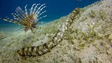 This Bizarre Sea Creature is Snake-like and Has Tentacles