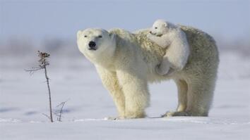 NG Live!: Polar Bears Are Irish?