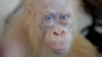Meet a Rare Albino Orangutan, Recently Rescued
