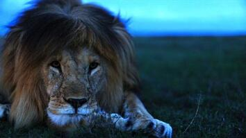 Understanding the Lives of Lions
