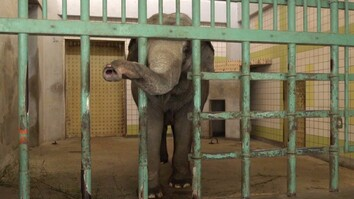 Watch: These Are the Loneliest Elephants on Earth