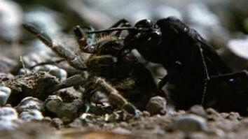 Wasp Attacks Spider