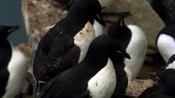 Guillemots Take the Plunge