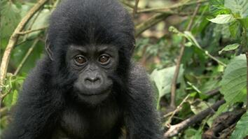 How One Orphaned Gorilla Inspired Her to Save Hundreds More