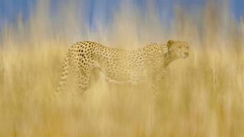 NG Live!: Frans Lanting & Christine Eckstrom: Cheetahs on the Brink