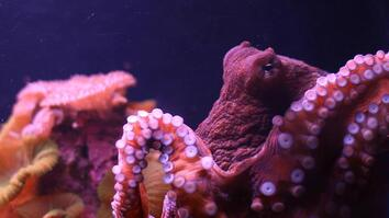 What is Octopus Ink Made of?