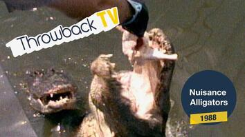Throwback TV: Nuisance Alligators