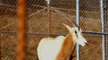 Scimitar-Horned Oryx Making a Comeback