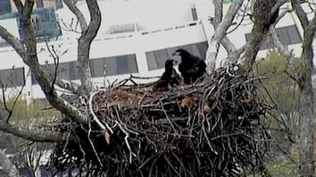 Bald Eagle Webcam Chicks