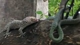 Watch: Battle Between Geckos and a Snake Ends in a Twist