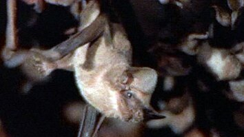 Mexican Freetail Bats