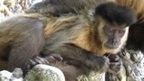 "Monkey Uses ""Nasal Probe"" to Induce Sneezing"