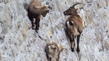 Amazing Footage: Goats Climbing on a Near-Vertical Dam