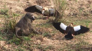 Egg-Stealing Baboon Incurs Wrath of Geese