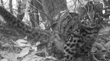 Watch: One of World's Rarest Cats Caught on Camera