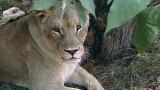 Lion Biodiversity