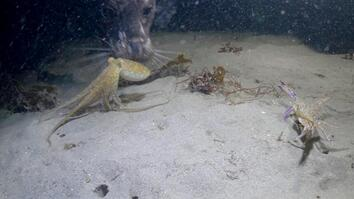 Octopus  vs. Crab Battle Takes an Unexpected Turn