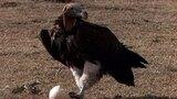 Jackal vs. Ostrich Eggs vs. Vulture