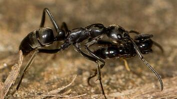 """Paramedic"" Ants Save the Wounded in Termite Wars"