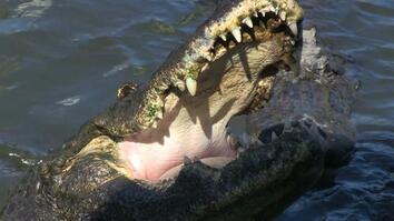Gator Fury