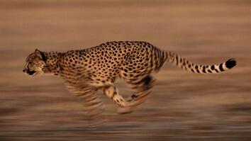 Watch: Are Cheetahs Running Toward Extinction?