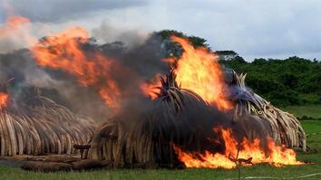 Largest Ever Ivory Burn Destroys 105 Tons
