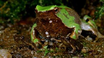 "World's Weirdest: Frog Father ""Spits Out"" Young"