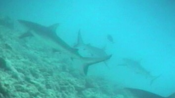 "Crittercam POV: ""Swim"" with Gray Reef Sharks"