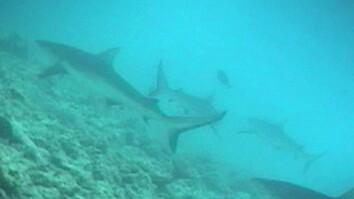 "Crittercam POV: ""Swim"" with Gray Reef Sharks"