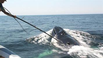 Video Reveals Surprising Humpback Feeding Behavior