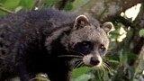 Civets Love Organic Smells