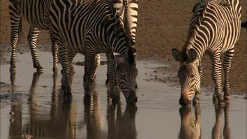 Zebra Attack