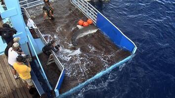Landing a Tiger Shark
