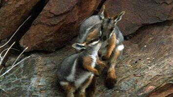Rock Wallabies