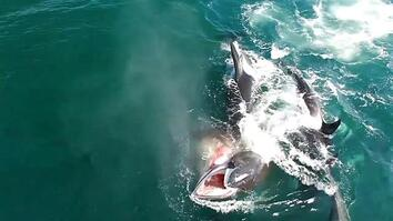 Watch: Orcas Hunt a Whale in Rare Video